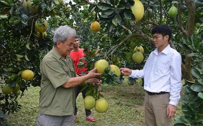 Lãnh đạo xã Vũ Linh kiểm tra mô hình trồng bưởi Diễn, bưởi Đoan Hùng tại thôn Làng Mấy.