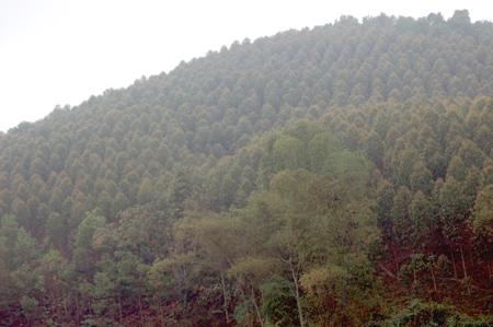 Rừng trồng ở xã Vũ Linh.