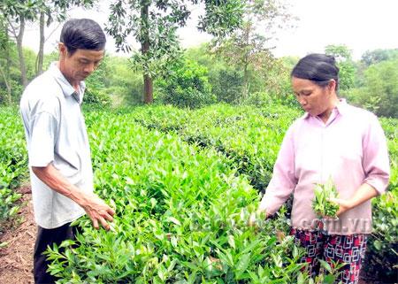 Mỗi năm, vợ chồng ông Lộc thu trên 40 triệu đồng từ vườn chè.