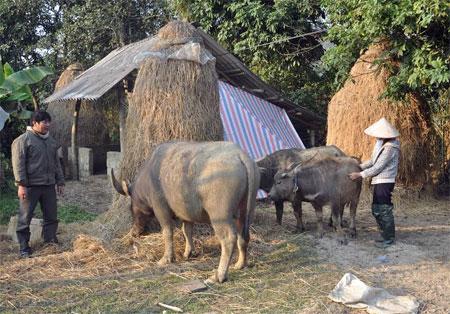 Mô hình chăn nuôi trâu sinh sản của hộ ông Dương Bình Xuyên ở xã Liễu Đô cho hiệu quả kinh tế cao. (Ảnh: Hoàng Nhâm)