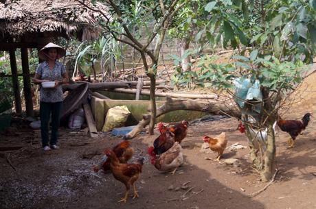 Đàn gà của gia đình ông Kim Tiến Sinh, thôn Loan Hương, xã Tân Hương, huyện Yên Bình.