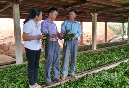 Lãnh đạo Hội Nông dân huyện Văn Chấn tham quan quy trình sản xuất chè tại Hợp tác xã Vạn Hoa.