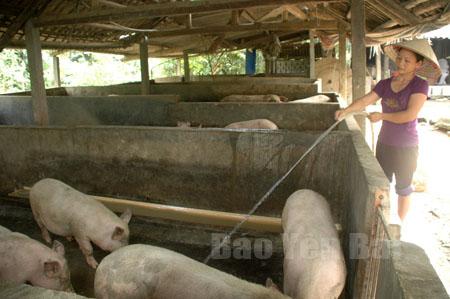Phát triển chăn nuôi gia súc đã mang lại nguồn thu nhập cao cho nông dân xã Báo Đáp.