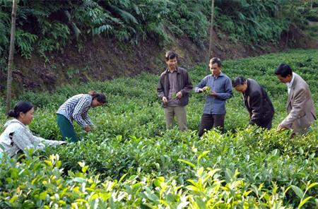 Chuyển đổi sang trồng chè Bát tiên đang là hướng đi đúng đắn, mang lại hiệu quả kinh tế cao cho nhiều hộ dân tại xã Bảo Hưng.