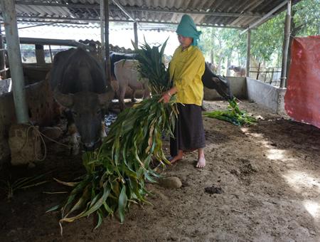 Gia đình ông Hà Văn Sôm, thôn Mường Chà, xã Hạnh Sơn chủ động che chắn chuồng trại và tích trữ thức ăn cho vật nuôi trong những ngày giá rét.