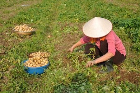 Nông dân thị trấn Yên Thế thu hoạch khoai tây vụ đông.