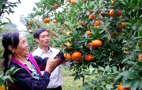 Người dân thị trấn Nông trường Trần Phú niềm vui được mùa cam