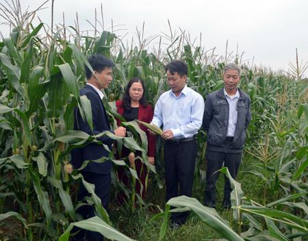 Vùng ngô hàng hóa xã Đào Thịnh được đầu tư thâm canh, nâng cao năng suất, chất lương, giá trị sản phẩm.