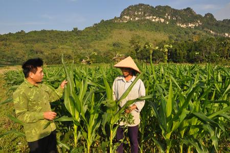Nông dân thôn Bản Muổi, xã Lâm Thượng kiểm tra sâu bệnh trên cây ngô đông.