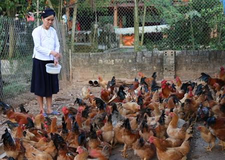 Gia đình bà Dương Thị Lan phát triển chăn nuôi cho thu nhập cao.
