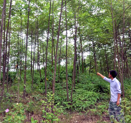Rừng kinh tế 5 năm tuổi ở thôn An Phú, xã Y Can, huyện Trấn Yên.