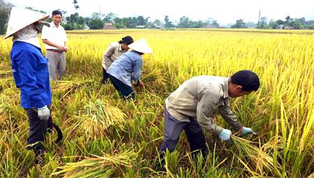 Hàng năm nông dân xã Vĩnh Lạc bảo đảm canh tác hết diện tích lúa 2 vụ, nâng cao sản lượng lương thực có hạt. (Ảnh: Văn Tuấn)