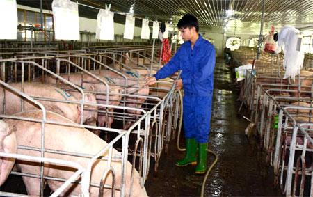 Chăn nuôi lợn theo phương thức công nghiệp tại Công ty TNHH Đầm Mỏ, xã Minh Bảo, thành phố Yên Bái.