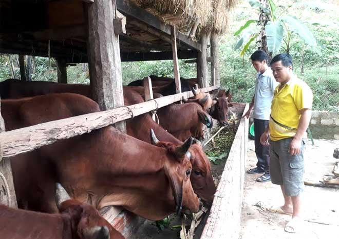 Chuồng bò lai sind của gia đình anh chị Hoàng Kinh Oánh và chị Nguyễn Thị Mây được nhiều người đến thăm quan, học tập.