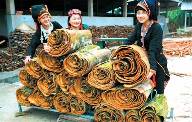 Sản phẩm quế vỏ Văn Yên là một trong những nông sản xuất khẩu có giá trị cao của tỉnh Yên Bái. (Ảnh: T.L)