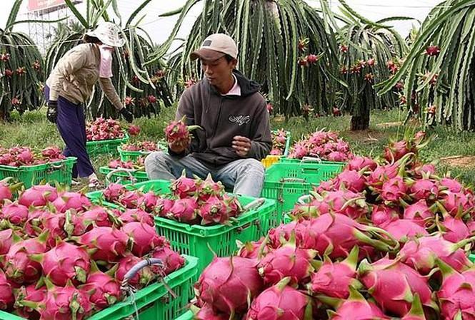 Thanh long là loại trái cây xuất khẩu chủ lực nhưng kim ngạch xuất khẩu giảm sút từ đầu năm đến nay.