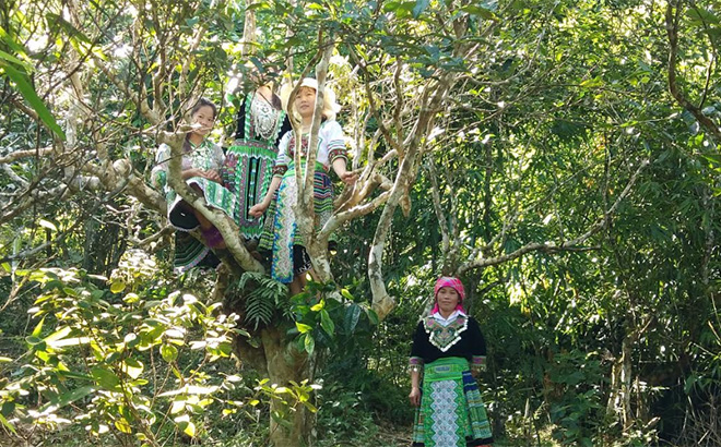 Khe Loong 1 village is home to between 150 to 200 ancient Shan Tuyet tea trees.