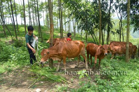 Vi Văn Nguyên đã phát triển được đàn trâu, bò gần 20 con.