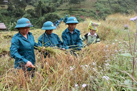 Dân quân huyện Trạm Tấu giúp dân gặt lúa.