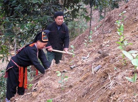 Nhân dân xã Viễn Sơn, huyện Văn Yên tích cực trồng quế vừa đảm bảo phủ xanh đất trống đồi trọc vừa mang nguồn thu nhập lâu dài cho người dân. (Ảnh: Mạnh Cường)