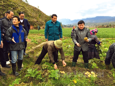 Đồng chí Giàng A Tông - Ủy viên Ban Chấp hành Đảng bộ tỉnh, Bí thư Huyện ủy (bên phải) kiểm tra thu hoạch cây vụ đông tại xã Nậm Khắt.