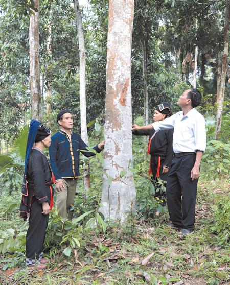 Quế - cây làm giàu của đồng bào Dao huyện Văn Yên.