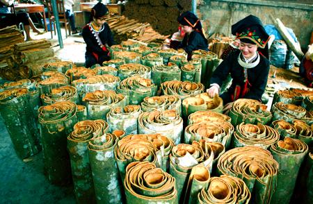 Quế Văn Yên có hàm lượng tinh dầu cao, nổi tiếng trong và ngoài nước.  (Ảnh: Thanh Miền)