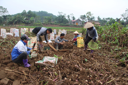 Người dân xã Quy Mông thu hoạch đao riềng.