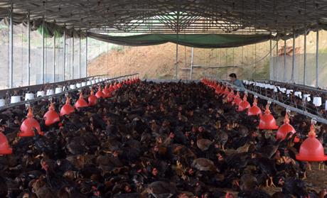 Hộ anh Nguyễn Tiến Sơn ở thôn 8, xã Minh Quán, huyện Trấn Yên hiện nuôi khoảng 1,7 vạn con gà Minh Dư nhờ liên kết sản xuất.