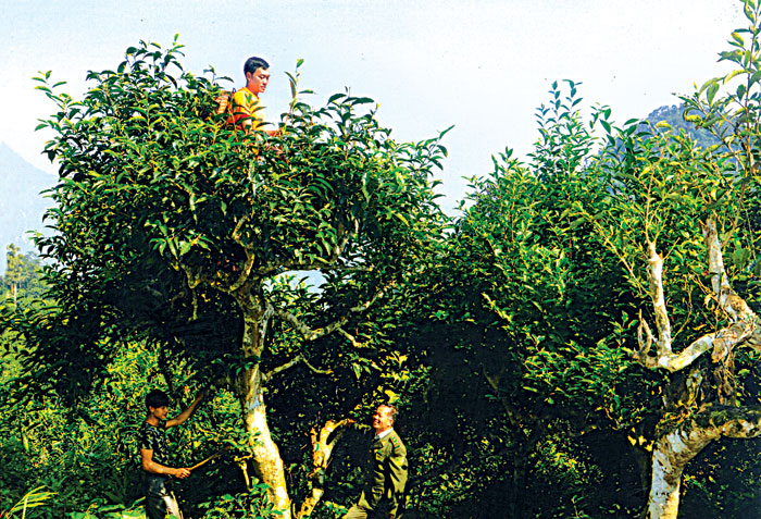 Khí hậu rừng già Suối Giàng rất hợp với chè Shan tuyết.