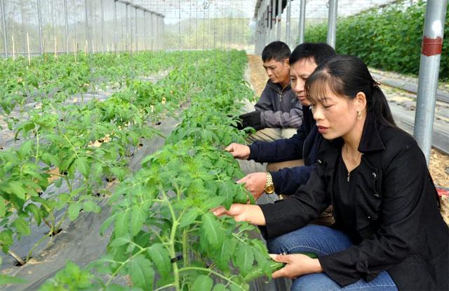 Nông dân Văn Yên chủ động ứng dụng khoa học, kỹ thuật cao với mô hình trồng rau, củ, quả sạch trong nhà lưới.