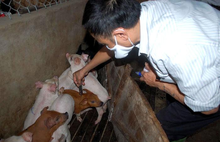 Cán bộ thú y phường Hợp Minh tiêm phòng cho đàn gia súc. (Ảnh: Thanh Chi)