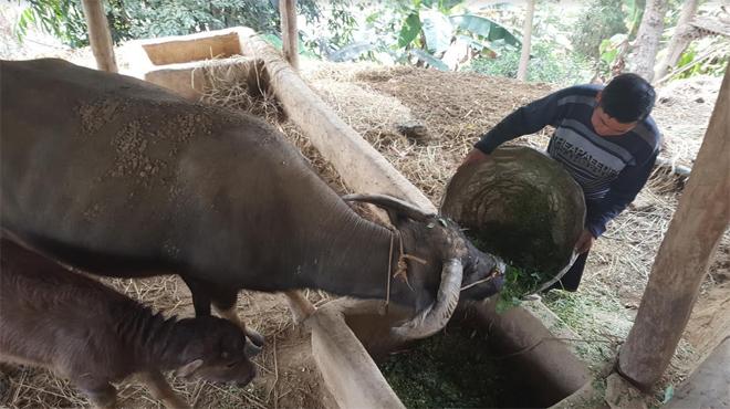 Người dân vùng cao Trạm Tấu chủ động nuôi nhốt trâu bò tập trung mỗi khi mùa đông đến.