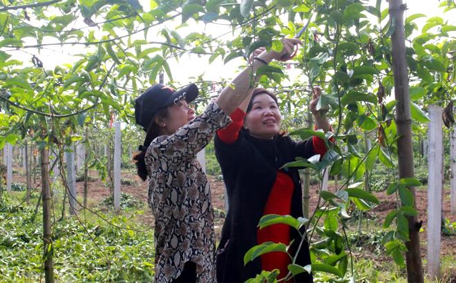 Cán bộ Trung tâm Dịch vụ hỗ trợ phát triển nông nghiệp huyện Văn Chấn hướng dẫn nhân dân kỹ thuật trồng và chăm sóc chanh leo.