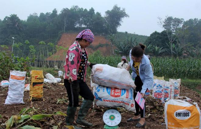 Nông dân xã Quy Mông thu hoạch đao riềng.