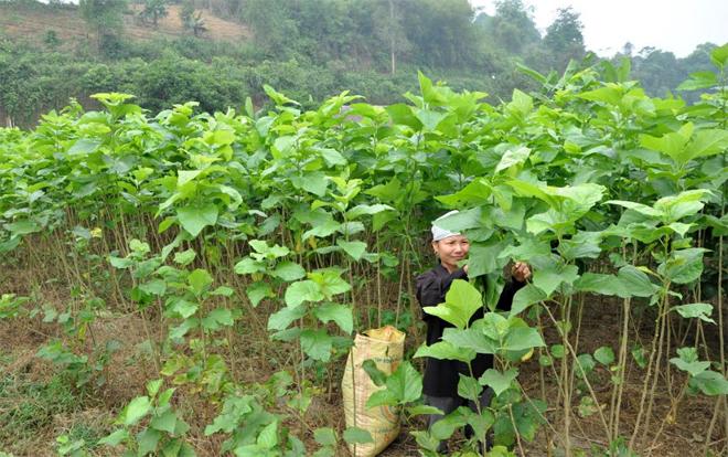 Nông dân xã Tân Đồng thu hái lá dâu.