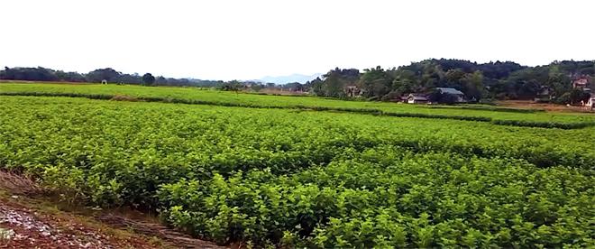 Cánh đồng dâu tằm bát ngát ở xã Việt Thành, huyện Trấn Yên.