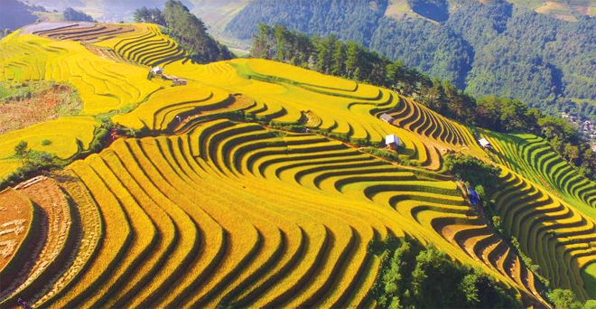 Waves of Mu Cang Chai terraced fields
