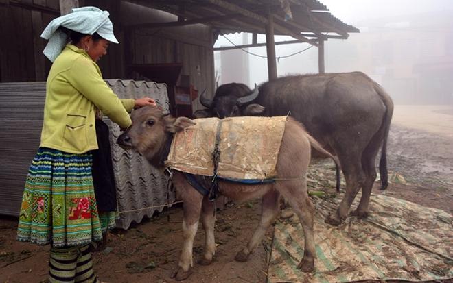 Người dân huyện Trạm Tấu chủ động chống rét cho gia súc.