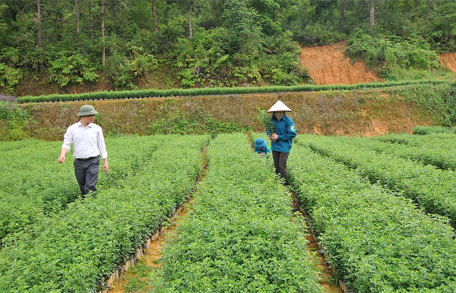 Cán bộ kỹ thuật Ban Quản lý Rừng phòng hộ huyện Mù Cang Chải kiểm tra chất lượng giống cây sơn tra.