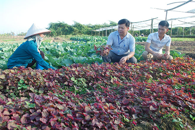 Safe vegetable production in Van Phu commune of Yen Bai city has generated considerable economic benefits.