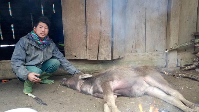 Số trâu, bò chết rét chủ yếu là bê, nghé và trâu bò già không đủ sức đề kháng. Ảnh minh họa