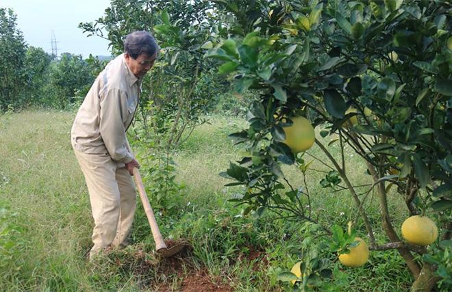 Ông Quỳnh chăm sóc vườn bưởi Diễn.