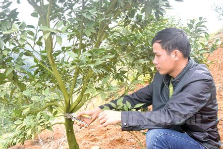 Anh Hồ Xuân Đoàn tỉa cành cho cây cam sau thu hoạch.