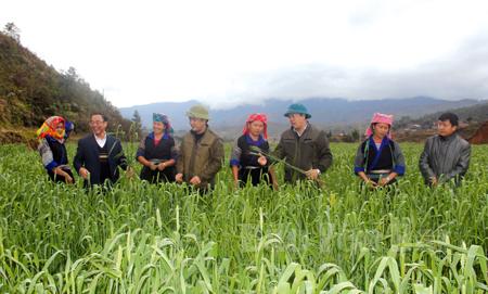 Các đồng chí lãnh đạo huyện Mù Cang Chải kiểm tra sản xuất lúa mỳ tại xã Nậm Khắt.