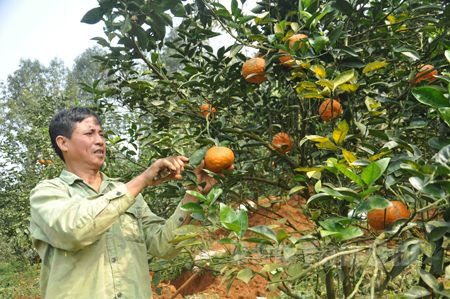 Cựu chiến binh Lê Minh Hiến phấn khởi thu hái thành quả lao động của mình.