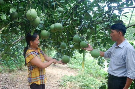 Mô hình trồng bưởi Diễn và bưởi da xanh của gia đình chị Triệu Thị Kiên.