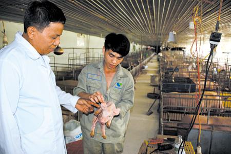 Giám đốc Nguyễn Hồng Thanh kiểm tra chất lượng lợn giống.
