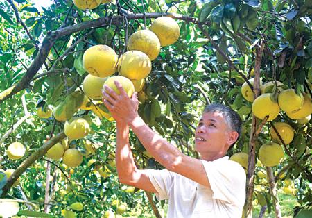 Hộ ông Nguyễn Văn Đông, thôn Quyết Tiến 11 đã thu về 450 triệu đồng từ 100 cây bưởi đang trong thời kỳ kinh doanh.