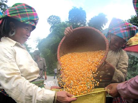 Người dân huyện Trạm Tấu thu hoạch ngô. (Ảnh: Mạnh Cường).